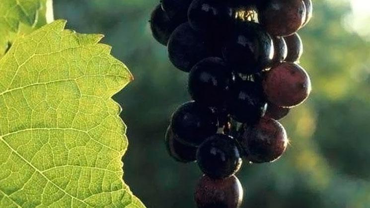 extracto-uvas