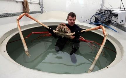 El cangrejo gigante japones