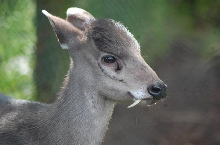 El ciervo de copete