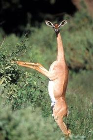 Gerenuc