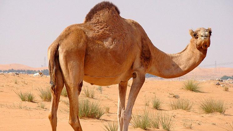 camelloss